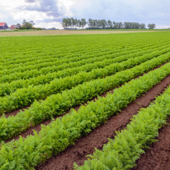 Backlit image of seemingly endless converging rows of green carrot plants in a Dutch field shortly after the rain.